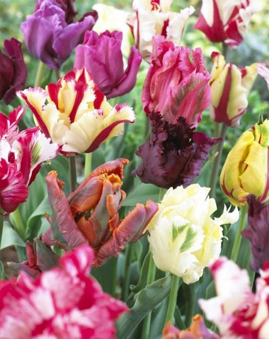 Tulip Parrot  Mixture