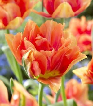 Tulip William of Orange