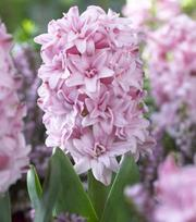 Hyacinth Double Prince of Love