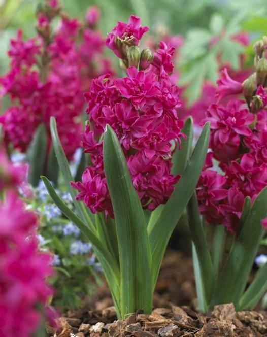 Double Hyacinth Red Diamond ®