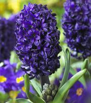 Hyacinth Pacific Ocean