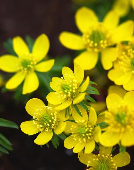 Eranthis Hyemalis (Winter Aconites) in the green