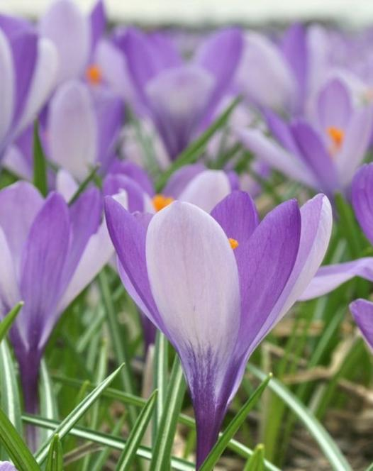 Spring flowering crocus crocuses autumn planting bulbs plants crocus yalta mightylinksfo