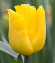 Tulip Yellow King