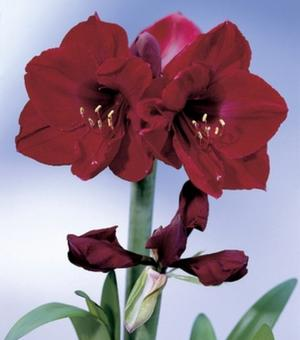 Amaryllis Red Pearl