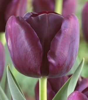 Pictured Tulip Black Jack