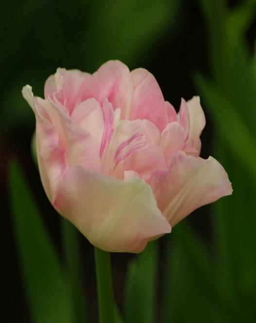 Tulip Angelique