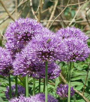 Allium Aflatunense (Hollandicum)