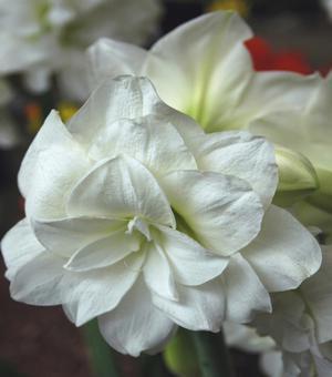 Amaryllis (Hippeastrum) Alfresco