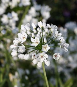 Allium Cowanii (Neapolitanum)
