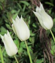 Tulip White Triumphator
