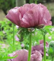 Papaver (Poppy) Patty's Plum