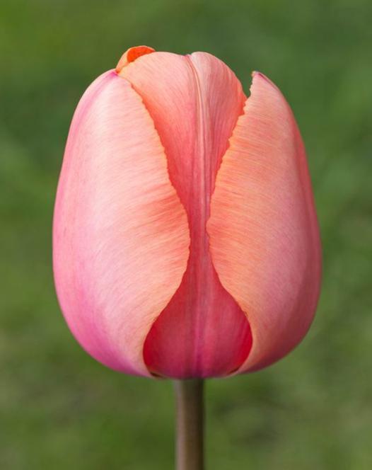 Tulip Apricot Impression ®