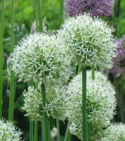 Allium Mount Everest (Stipitatum)