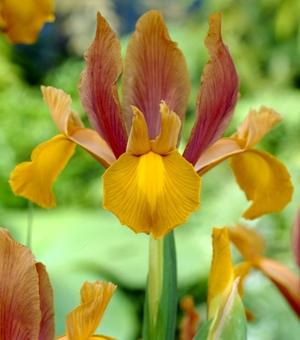 Dutch Iris Autumn Princess