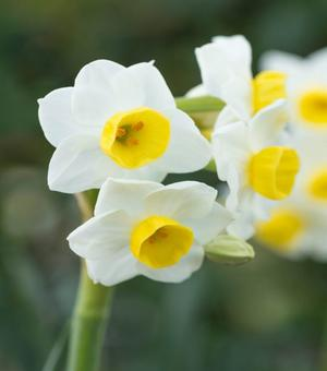 Indoor Flowering Narcissus Avalanche