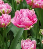 Tulip Aveyron
