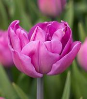 Tulip Backpacker