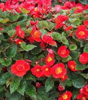 Begonia Multiflora Flamboyant