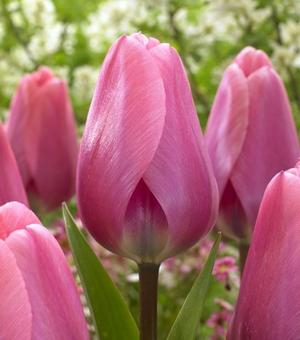 Tulip Big Love