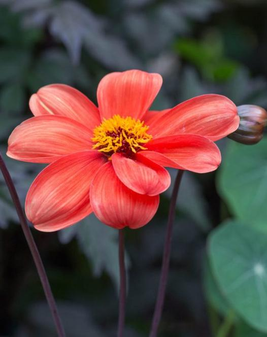 Dahlia Bishop of Oxford ®