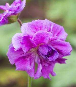 Geranium Birch's Double
