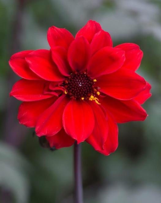 Dahlia Bishop of LLandaff ®