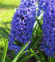 Hyacinth Blue Jacket