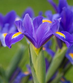 Dutch Iris Blue Magic