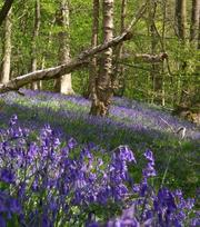 Scilla Nutans (English Bluebells) In The Green