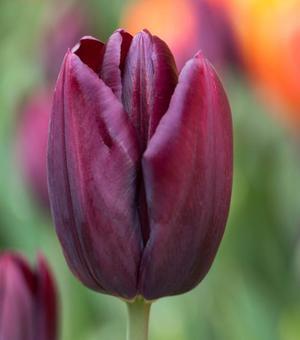 Tulip Black Jack
