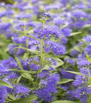 Caryopteris Dark Night