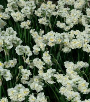 Narcissus Bridal Crown 25kgs