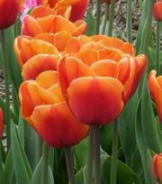 Tulip Brown Sugar ®
