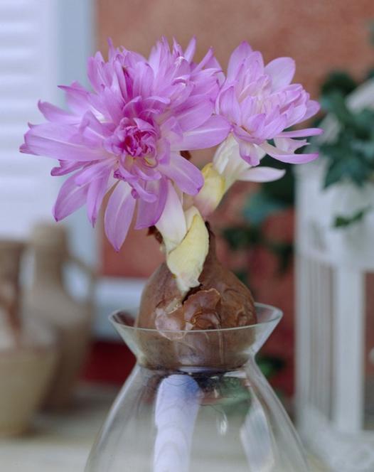 Colchicum Waterlily