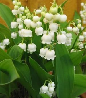 Convallaria Majalis (Lily of the Valley)
