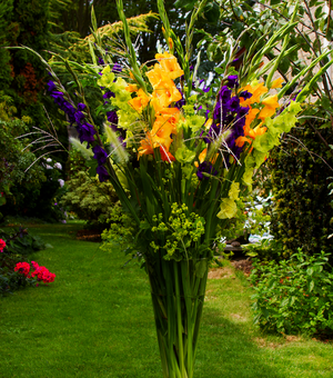 Gladioli Calypso Collection B