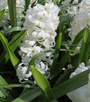 Hyacinth White Pearl