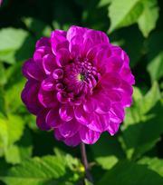 Dahlia Lilac Bull