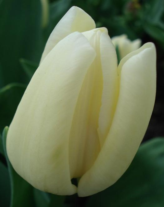 Tulip Francoise