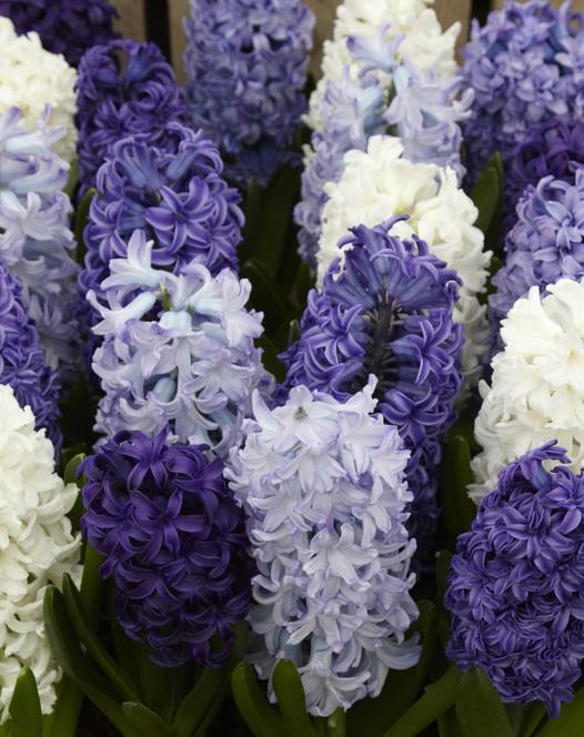 Hyacinth Ocean Waves Mixture