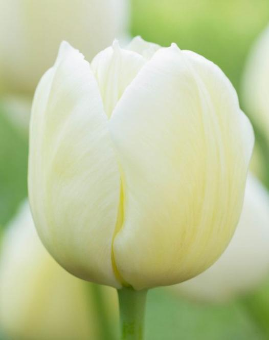 Tulip City of Vancouver