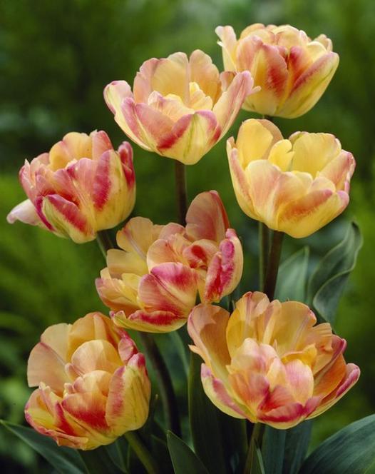 Tulip Creme Upstar