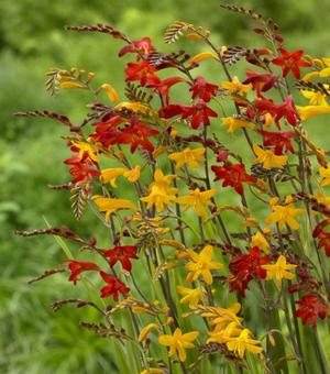 Crocosmia Mixture Large Flowering
