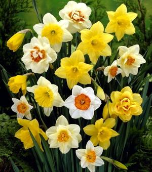 Daffodil & Narcissus Mixture