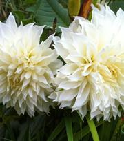Dahlia White Perfection