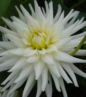 Dahlia Bishop of Llandaff