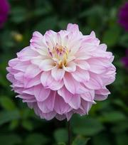 Dahlia Miracle Princess