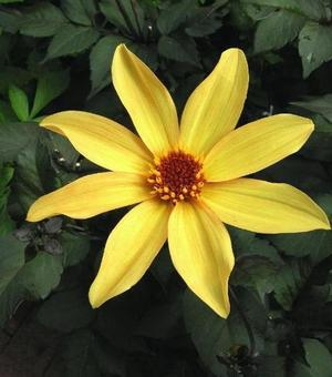 Dahlia Bishop of York ®