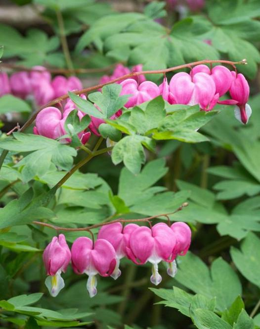 Dicentra - Lamprocapnos Pink-White